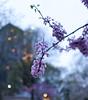 Urban blossom (Z!SL) Tags: violet purple bokeh bokehwhores dof depthoffield urban urbannature newyork newyorkcity nyc ny sel24f18z sel24f18za sonyphotographing sony sonnarte1824 sonnar2418za sonnar minoltaemount emount mirrorless nex5r sonynex sonyflickraward zeiss carlzeiss blue blau blossom twilight flowers flora flower