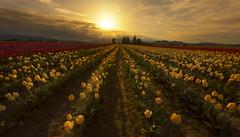 Early Morning at Skagit Valley (Mt Vernon, WA) (Sveta Imnadze) Tags: landscape surise flowers tulips skagitvalley tulipfestival