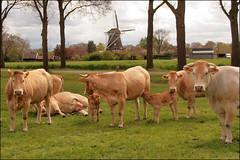 Zicht op de Anermolen (TeunisHaveman) Tags: koe koeien cow molen ane anerveen gramsbergen hardenberg campingdekleineweide wei weiland