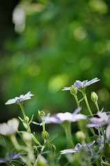 daisy field (Angelo Petrozza) Tags: 55300f458 pentaxk70 bokeh daisy margherite focus selective green verde fiori flowers natura angelopetrozza montescaglioso
