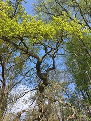 New Green Tree (TitusT1960) Tags: iphonese iphone spring frühling forest blau sky tree himmel grün natur wald baum