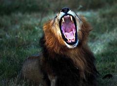Male Lion Yawning, panthera leo, Moremi National Park, Okavango (klauslang99) Tags: africa animal botswana closeup colorimage colourimage day daytime horizontal lying male nopeople nobody noreminationalpark okavangodelta oneanimal outdoors pantheraleo photography wildlife klaus lang