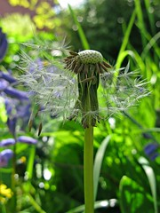 Almost gone (lady.bracknell) Tags: dandelion dandelionclock wishes seeds garden bokeh macro flowers parachutes