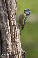 414A1730 (wardphotography1) Tags: gardenbirds birds british birdsinflight wildlife wetlands explore exposure