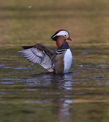 mandarin duck (senn_b) Tags: duck mandarinduck canardmandarin belgium hainaut canon canonef400mmf4doisiiusm aixgalericulata mandarinördeği