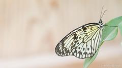 JM foto75-151 (janetankersmit) Tags: 2017 vlinders vlindertuin zutphen