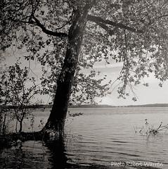 L'arbre au bord de l'eau...(Argentique) / The tree on the water side...(Film) (Pentax_clic) Tags: bw tree film water spring eau noiretblanc pentax quebec kodak tmax deluxe 85mm 11 66 d76 400 agfa arbre printemps ventura argentique kx vaudreuil solinar robertwarren