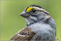 White-throated Sparrow (130517-0277) (Earl Reinink) Tags: park ontario canada art nature point photography nikon flickr photographer image images earl flikr park provincial d4 art nikon rock photography images nature provincial lens ontario canada ontbirds fine earl photographer lenses reinink reinink d4 niagara