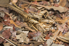 Long-Tailed Nightjar in leaves (Dave Montreuil) Tags: africa bird leaves birds dave long hidden westafrica gambia senegal montreuil tailed longtailed nightjar hidng