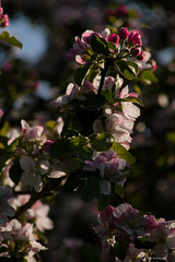 "Blossom. Fade to Pink. (oberseloben ""The Roving Eye"") Tags: canon canon20d maidstone aylesford cobtreemanor 80200mmef"