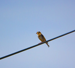 Goldfinch (Saka) (Emre Aksu (Life in Nature)) Tags: bird nature canon eos goldfinch national geographic saka 450d 55250
