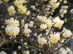 Edgeworthia chrysantha [E. tomentosa / E. papyrifera], at Wisley 8th March 2012 (jrcollman) Tags: plants gardens places wisley archived importedtags eplant edgeworthiachrysanthaetomentosaepapyrifera jeffs23rdfebto12thmarch2012