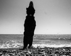 Miss Charley at the Beach: Jumping Skills #2 (imjustcreative) Tags: dog beach jumping germanshepherd alsatian