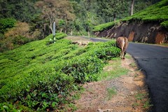 Cow on mountain road with tea