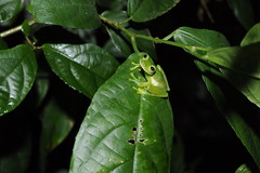 Emerald Glass Frog (Centrolenella prosoblepon) (Sky and Yak) Tags: nature glass america wildlife amphibian frog panama amphibians naturalworld centralamerica herpetology herptile