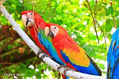 Orga, Greenwing Macaw and Aron, Scarlet Macaw (MFids) Tags: blue red green yellow scarlet thailand parrot macaw parrots ara macaws macao greenwing psittacine chloroptera homeareewatanasombat