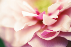 the closer you get... (ggcphoto) Tags: pink ireland flower nature rose horizontal closeup outdoors photography day softness nopeople growth botany freshness scented flowerhead inbloom colourimage