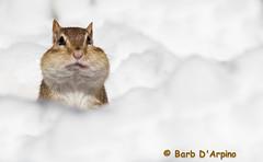 Snow-Munk (Barb D'Arpino Photography) Tags: ontario canada nature outdoors spring wildlife northamerica wasagabeach latespring easternchipmunk snowybackground funnypost eleanorthechipmunk naturethroughmyeyescom barbaralynne copyrightbarbdarpino barbaralynnedarpino eleanor2013 snowandchipmunk