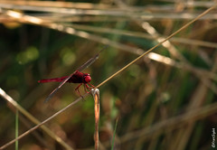 (FranSight) Tags: france macro canon insect rouge 100mm insecte libellule moselle fourmis fransight franimage