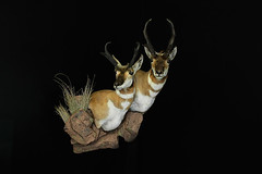 "Utah Taxidermist - Antelope Taxidermy • <a style=""font-size:0.8em;"" href=""http://www.flickr.com/photos/27376150@N03/9353692976/"" target=""_blank"">View on Flickr</a>"