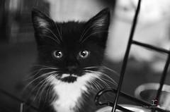 WEEK 1: I like to eat (Random Life Project) Tags: cats kitten kitty kittens ehs adoption fostering edmontonhumanesociety fosteranimal