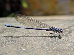 Violet Dancer (Luckybon) Tags: westvirginia campalleghany greenbrierriver violetdancer ghany campalleghanyforgirls