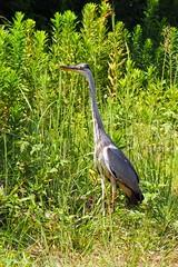2013.09.10 Great Blue Heron (eriko_jpn) Tags: bird greatblueheron