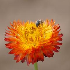 Un accueil chaleureux ** (Titole) Tags: orange bee squareformat abeille everlastingflower immortelle unanimouswinner friendlychallenges thechallengefactory titole nicolefaton