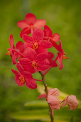 intensely red orchids (Sam Scholes) Tags: travel flowers red vacation bali plant orchid flower nature beautiful digital garden indonesia nikon denpasar d300 baliorchidgarden