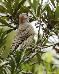 "Northern Flicker - Male - ""Red-shafted"" (Bob Gunderson) Tags: sanfrancisco california goldengatepark birds northerncalifornia woodpeckers botanicalgardens northernflicker colaptesauratus"