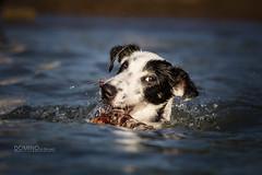 Domino schwimmt 2013-06-21 (tine_stone) Tags: dog animal strand swim austria see wasser schwimmen carinthia hund domino ufer tine klagenfurt wrthersee abigfave schwimmt tinefoto krnten|carinthia dominoschwimmt