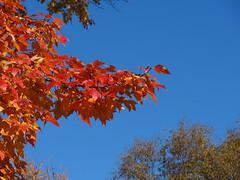 branch, our best maple tree, sooc (Martin LaBar (going on hiatus)) Tags: autumn color fall leaves maple southcarolina otoo pickenscounty sapindaceae