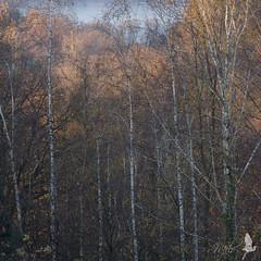 Autunno (Milo Manica) Tags: italy alberi canon lago eos italia piante bosco angera 18135 betulle 60d maggore