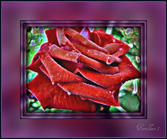 Experiment. (tarelkaz1) Tags: flowers red roses summer macro green texture garden crazy flora memories experiment topshots flowersarebeautiful excellentsflowers natureselegantshots sonydscs730 theoriginalgoldseal mygearandme ipiccy
