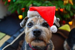 Getting in the mood..... (Dafydd Penguin) Tags: christmas xmas dog pet pets silly colour tree dogs hat animal festive nikon funny mood 28mm border terrier nikkor f28 d600