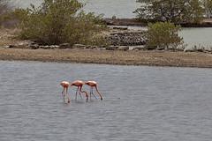 Flamingos (:: Blende 22 ::) Tags: lagune water birds canon stones flamingo curacao laguna antilles caribbian antillen karibik niederländischeantillen ef70200mmf4lisusm canoneosd canoneos5dmarkii dutchcaribbian holländischekaribik