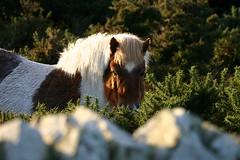 Shetland Pony (Owen H R) Tags: horse orkney pony spotty shetland shetlandpony 2014 owenhr