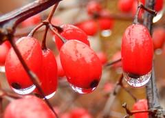 Sexy (clyde7995) Tags: winter red macro rain berries statenisland 2014