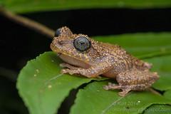 Philautus vermiculatus IMG_5070 copy (Kurt (OrionHerpAdventure.com)) Tags: amphibian frog frogs herp herps herpetology amphibia rhacophoridae rhacophorid vermiculatebushfrog philautusvermiculatus