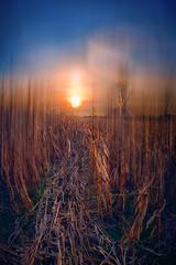 A path through a forgotten cornfield! (radonracer) Tags: landscape digiart radonart