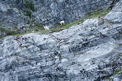 _MG_4320a (markbyzewski) Tags: alaska kids ugly mountaingoats glacierbaynationalpark