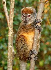 So Cute  0059 (Bonnieg2010) Tags: africa wild cute nature animal lemur madagascar primate allrightsreserved bamboolemur mygearandme allnaturesparadise bonniegrzesiak