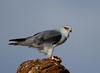 Black-winged Kite (Rainbirder) Tags: kenya samburu elanuscaeruleus blackwingedkite rainbirder