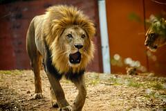 ZooAtanta_22Feb14_00038.jpg (fredstrobel) Tags: atlanta usa animals ga georgia unitedstates lion places mammals zooatlanta wildanimals