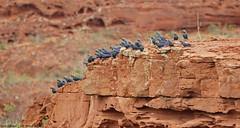 Lear's Macaw - Arara-azul-de-lear - Anodorhynchus leari