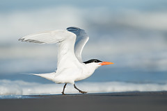 Royal Tern (Aidan Briggs) Tags: royal tern aidan briggs morro bay bird photography workshop