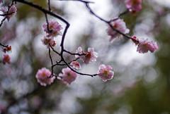 Pink Plum Blossoms And Bokeh (aeschylus18917) Tags: danielruyle aeschylus18917 danruyle druyle ダニエルルール japan 日 kyushu 九州県 fukuoka 福岡県 福岡市 flower 花 105mm plum blossoms pink bokeh prunus plumblossoms