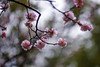 Pink Plum Blossoms And Bokeh (aeschylus18917) Tags: danielruyle aeschylus18917 danruyle druyle ダニエルルール japan 日 kyushu 九州県 fukuoka 福岡県 福岡市 flower 花 105mm plum blossoms pink bokeh prunus plumblossoms pxt