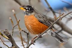 American Robin (nikomelos) Tags: