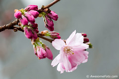 Spring is here (james c. (vancouver bc)) Tags: cherry blossom background pink flower sakura closeup beautiful blossoms branch fresh canada isolated oriental april nature beauty tree spring natural plant bright floral bud
